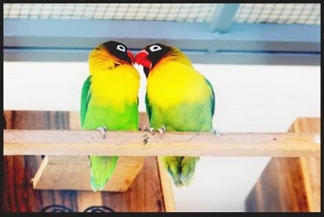 memilih induk lovebird