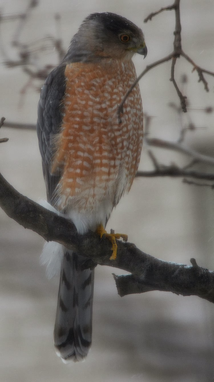 Adult male Cooper's Hawk from the front. He sits regally while snowflakes fall all around.