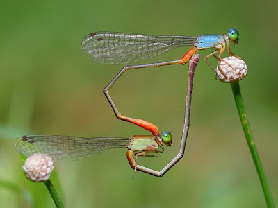 damselflies heart shape love picture