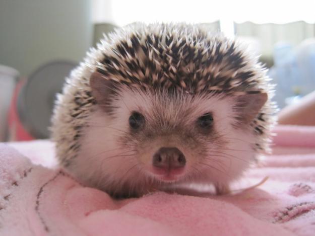 Landak Mini (hedgehog):Hewan Peliharaan