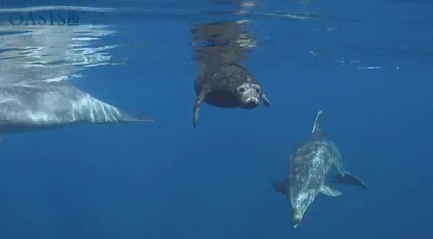Altruistic Dolphins Help Seal Find Its Way Back To Sea (VIDEO)
