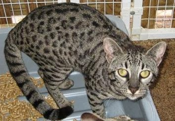 Image Result For Penyakit Leukemia Pada Kucing
