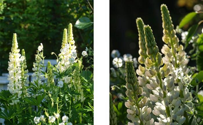 Hvide lupiner i den naturlige og frodige have