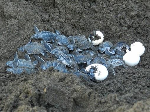 El reino animal costa rica santuario del desove de las for Tortuguero casero