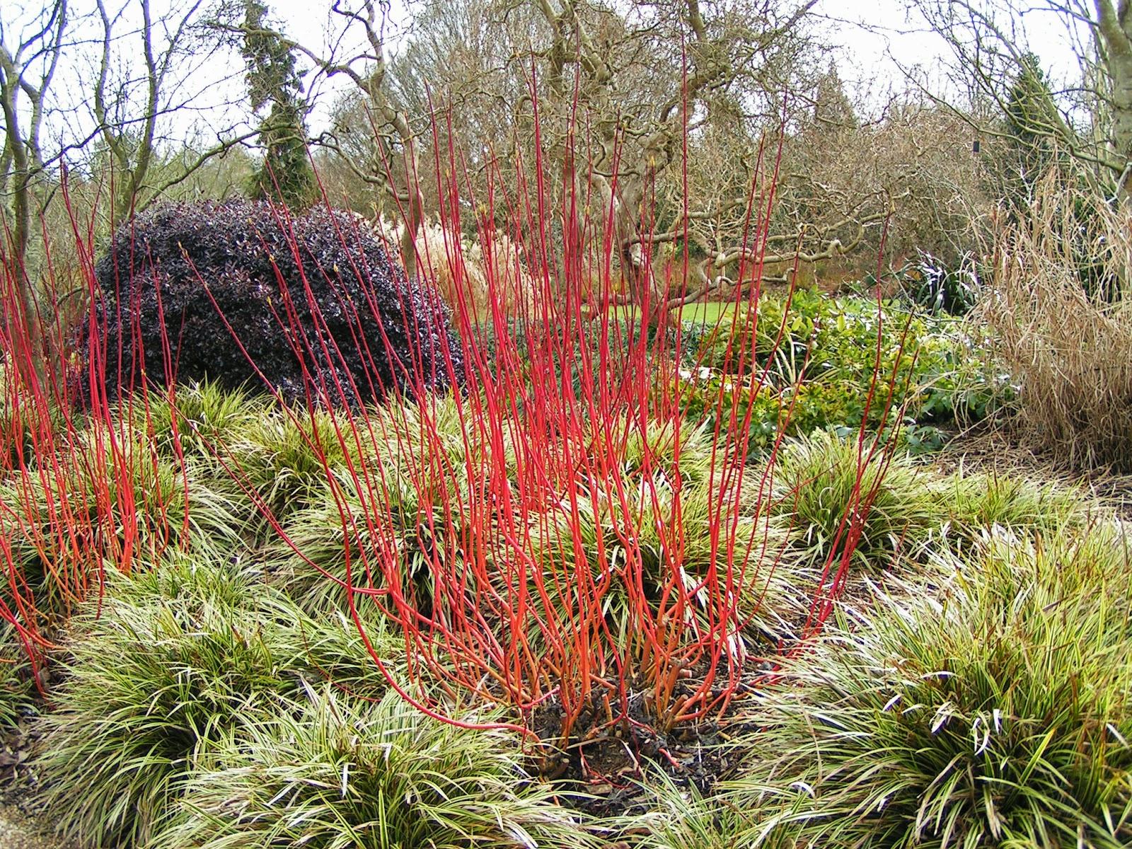 Botaniquarium blog how to grow cornus - Cornus alba sibirica ...