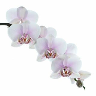 J'ai eu une belle floraison d'orchidées cet hiver.  J'en ai profité pour faire des expériences avec la lumière en arrière et l'utilisation du flash.