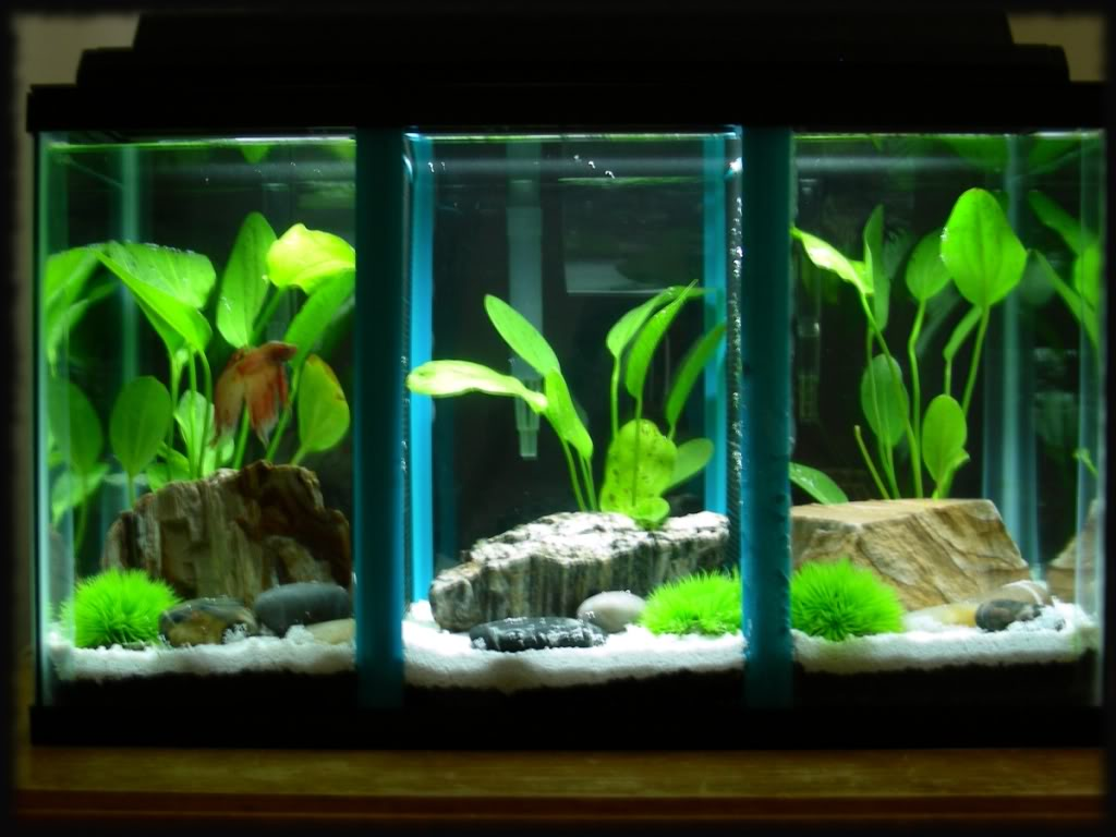 Betta care nice betta for Divided fish tank