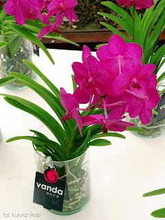 różowa orchidea vanda