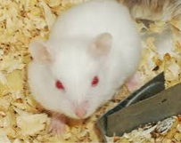 images Small hamster white Red Eye