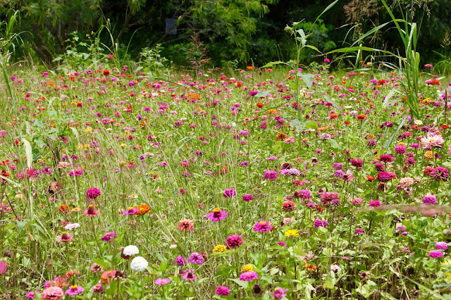 Zinnia Meadow