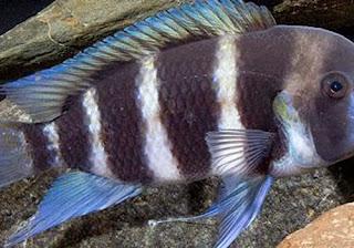blue frontosa fish