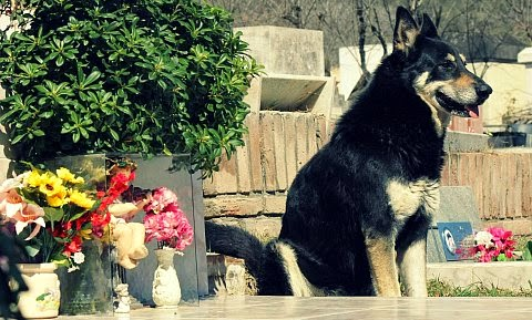 Capitan a German shepherd dog never left his dead owners grave for 6 years via geniushowto.blogspot.com emotional dog videos