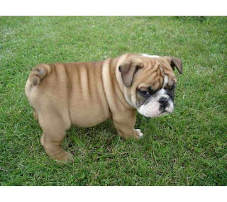 little english bulldog pets dog puppy puppies species breeds animal