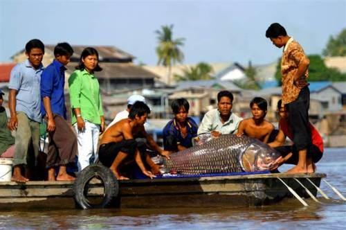 [Khám Phá] - Huyền thoại cá thầy chùa trên dòng Cửu Long 11