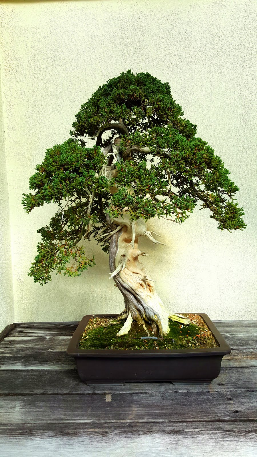Bonsai Misadventures Artistic Elements In Bonsai The Focal Point