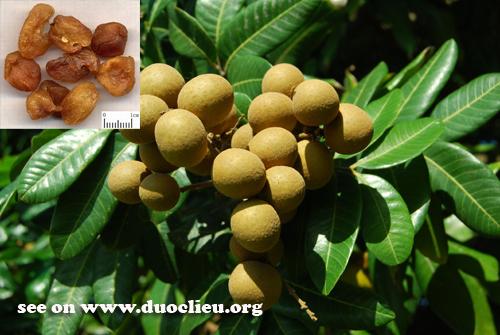 Botanical Name: Euphoria longan (Lour.) steud. (Fam. Sapindaceae)