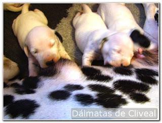 cliveal. cachorros de dalmata mamando
