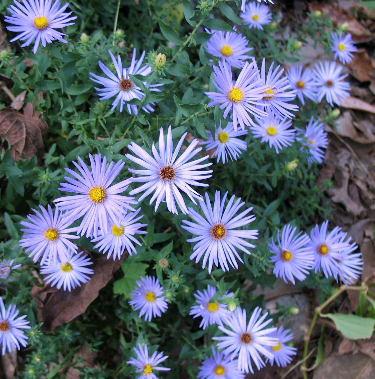 Using georgia native plants asters asters asters - Aster pianta ...