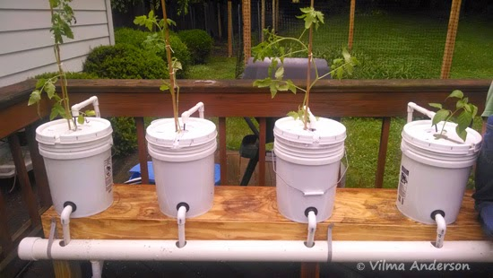 5-gallon buckets used in a hydroponics system