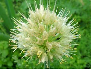 4 июля, лук-батун цветет