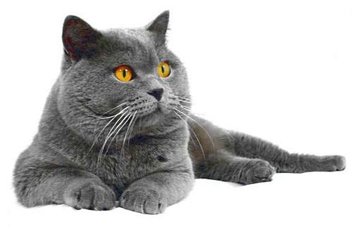 Gatos british shorthair argentina