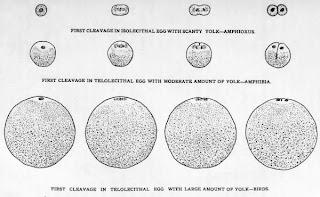 macam-macam telur atau ovum