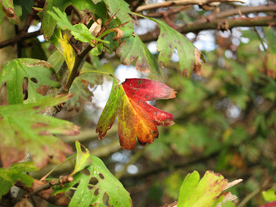 Hawthorn leaf with bright autumn colours
