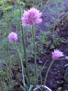 Цветки шнитт лука