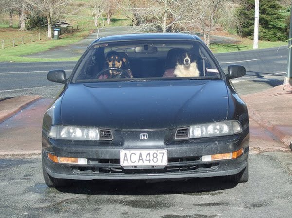 driving dogs cars dog funny cool animals wheel joke appear hilarious owners were belts forget seat guys wear don paws