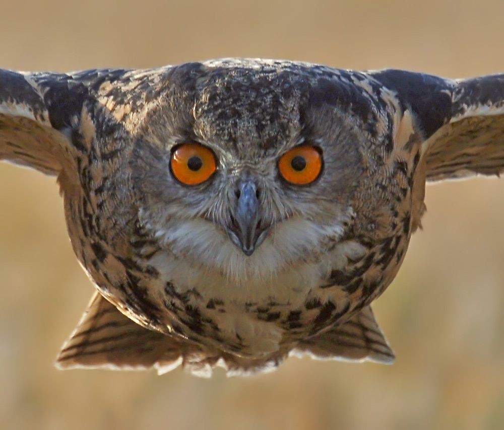 Owl the biggest animals kingdom for And pictures