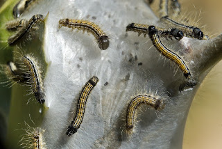 Para ampliar Malacosoma neustria (Falsa lagarta, oruga de librea) hacer clic
