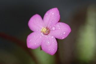 Jardineria, Catalogo de Plantas: Bertolonia marmorata