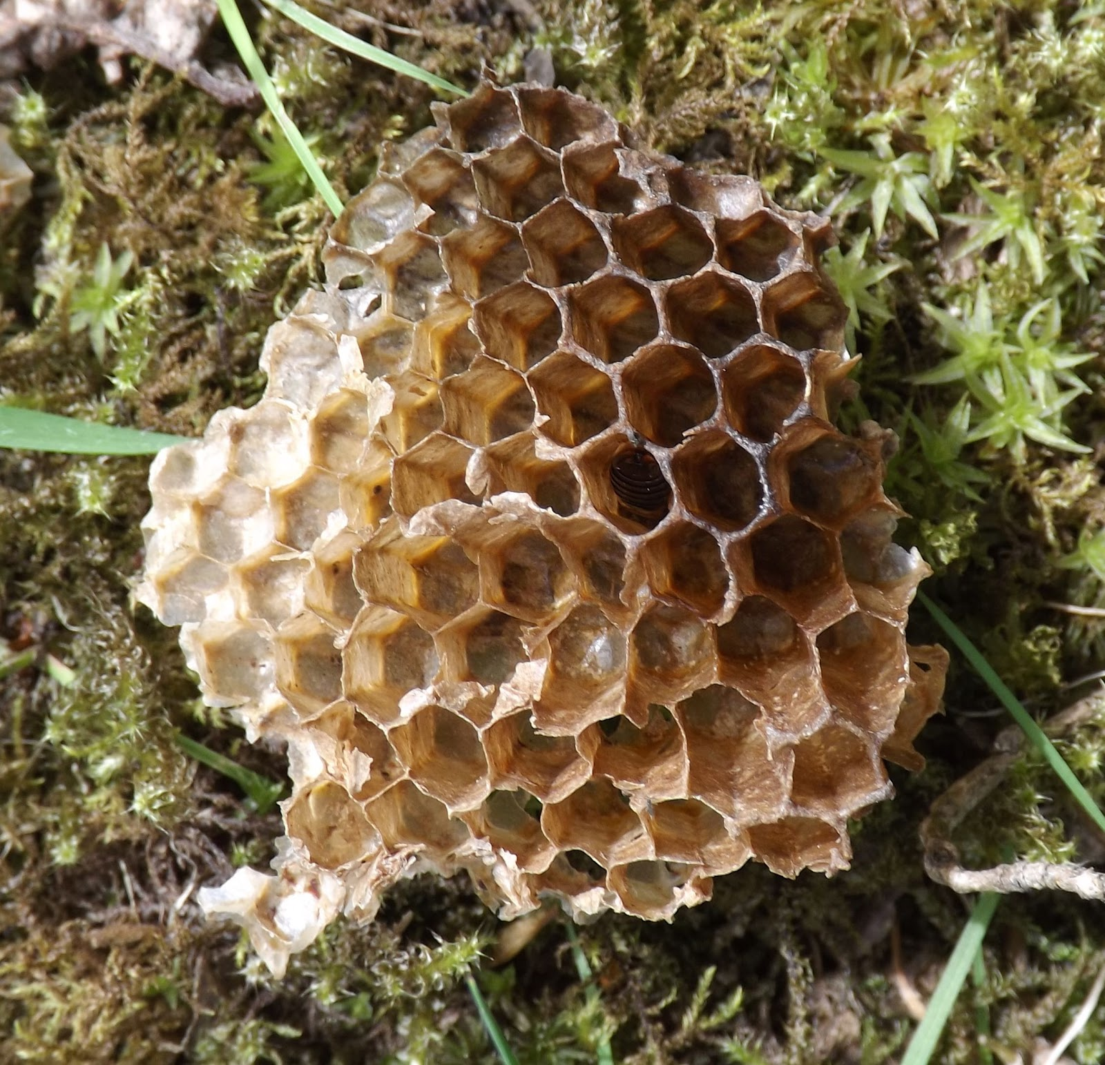 Some honeycomb from a wild bee hive
