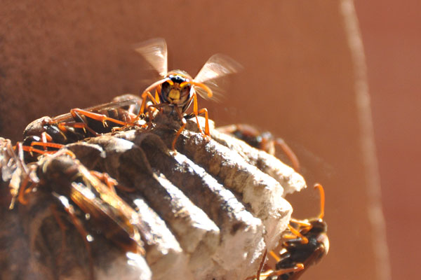 Polistes paper wasp yellow sydney