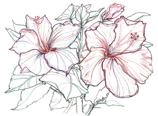 Hibiscus Flower Line Drawing : Hibiscus drawing imgkid the image kid has it