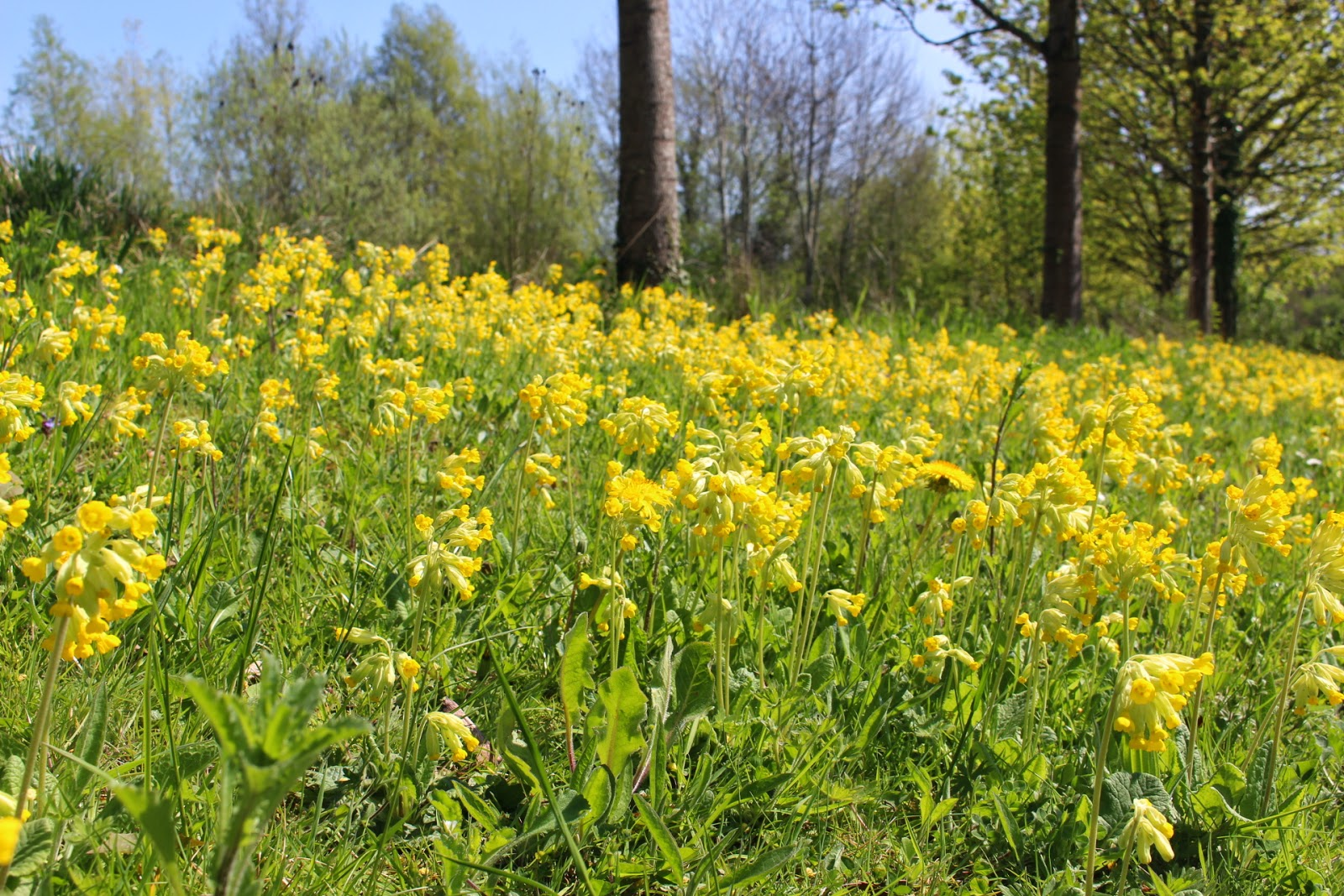 A tummy level view of our estate's cowslips