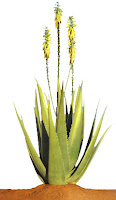 Common Herbs in FLP:-barbadensis miller aloe