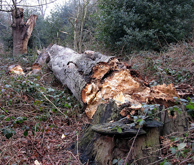Fallen tree on West Wickham common