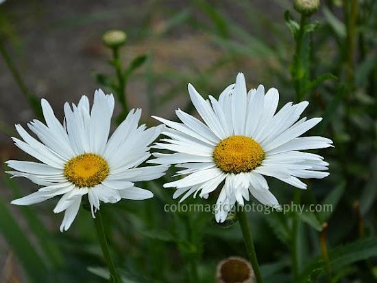 Shasta daisy closeup-Leucanthemum x superbum