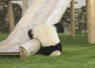 Caida de oso panda