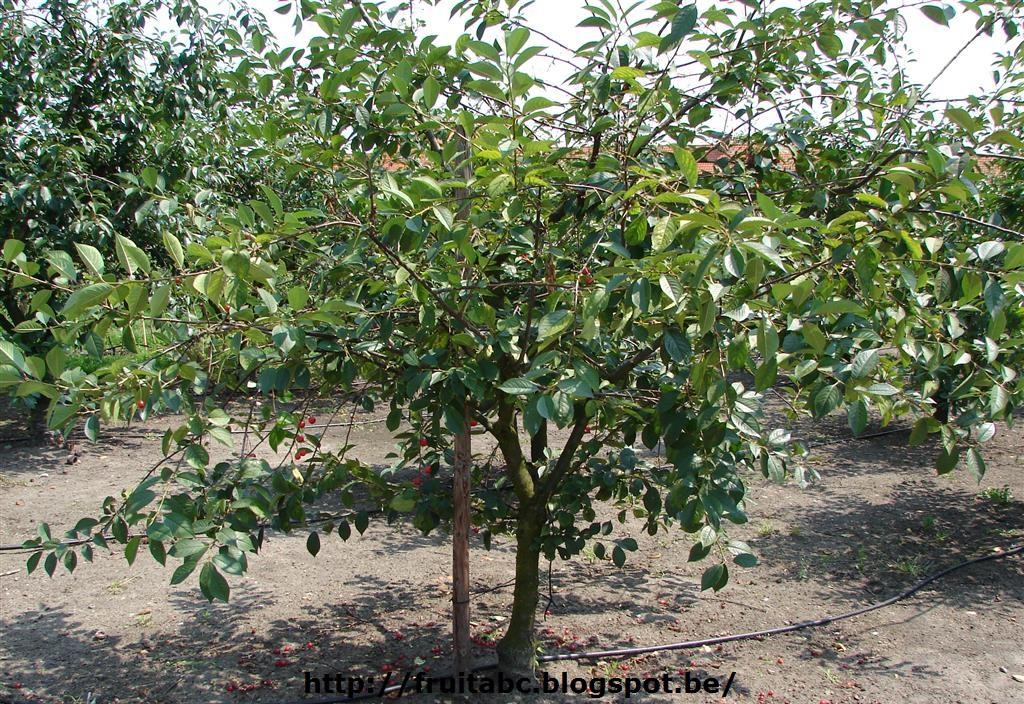 kersenboom planten