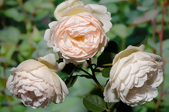 Wollerton Old Hall rose сорт розы фото