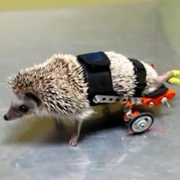 hedgehog, wheelchair, hedgie, exzooticvet, videos, animals, animais,