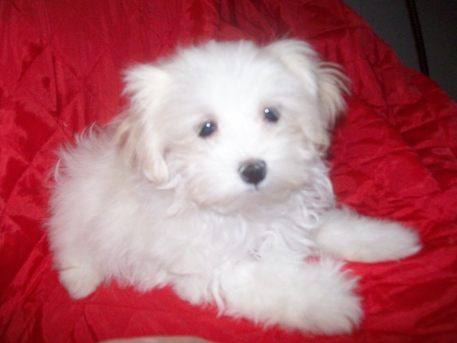 Cute Puppy Dogs: Teacup Maltese Puppies