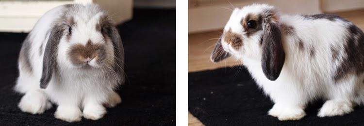 Hvid hankanin med grå ører