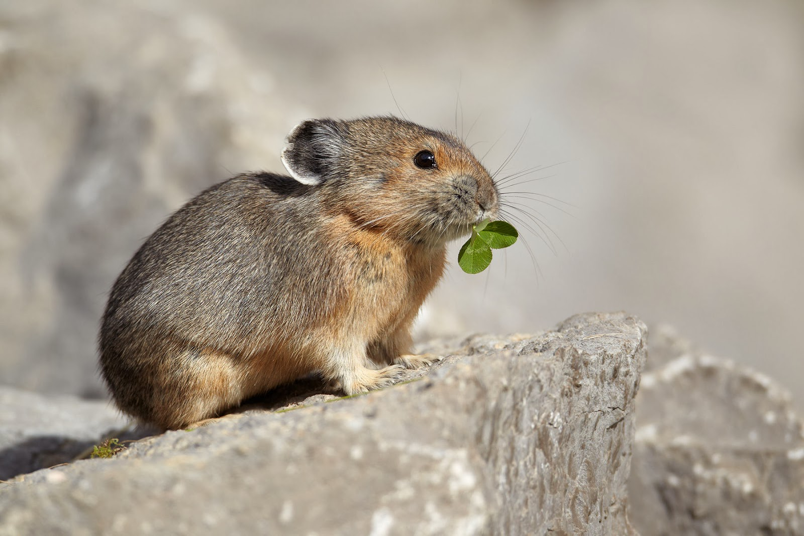 Marmots flaviventris animals amazing facts new for Interesting facts north america
