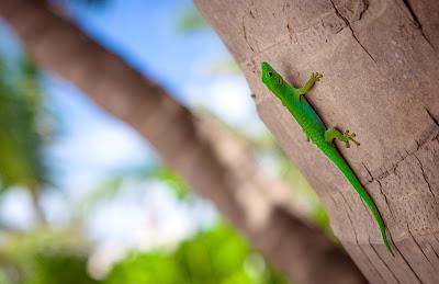 Grüner Gecko an einer Palme auf La Digue