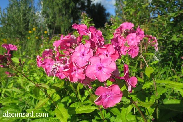 урожай, август, аленин сад, флокс