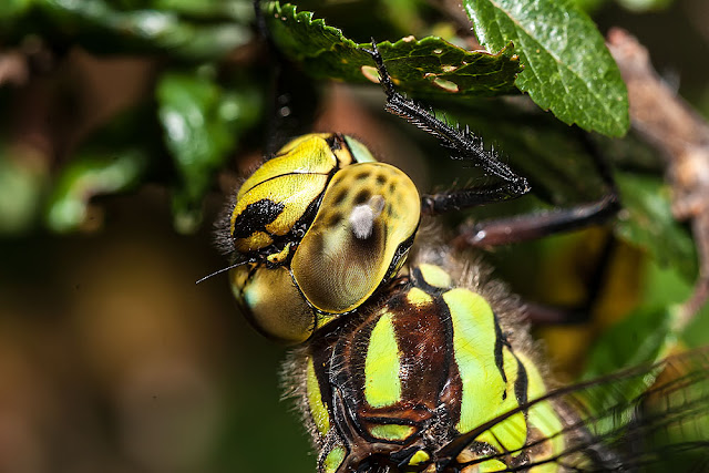 Southern Hawker (Aeshna cyanea), close up of head, photographed Lodge Lake, Milton Keynes, 2012