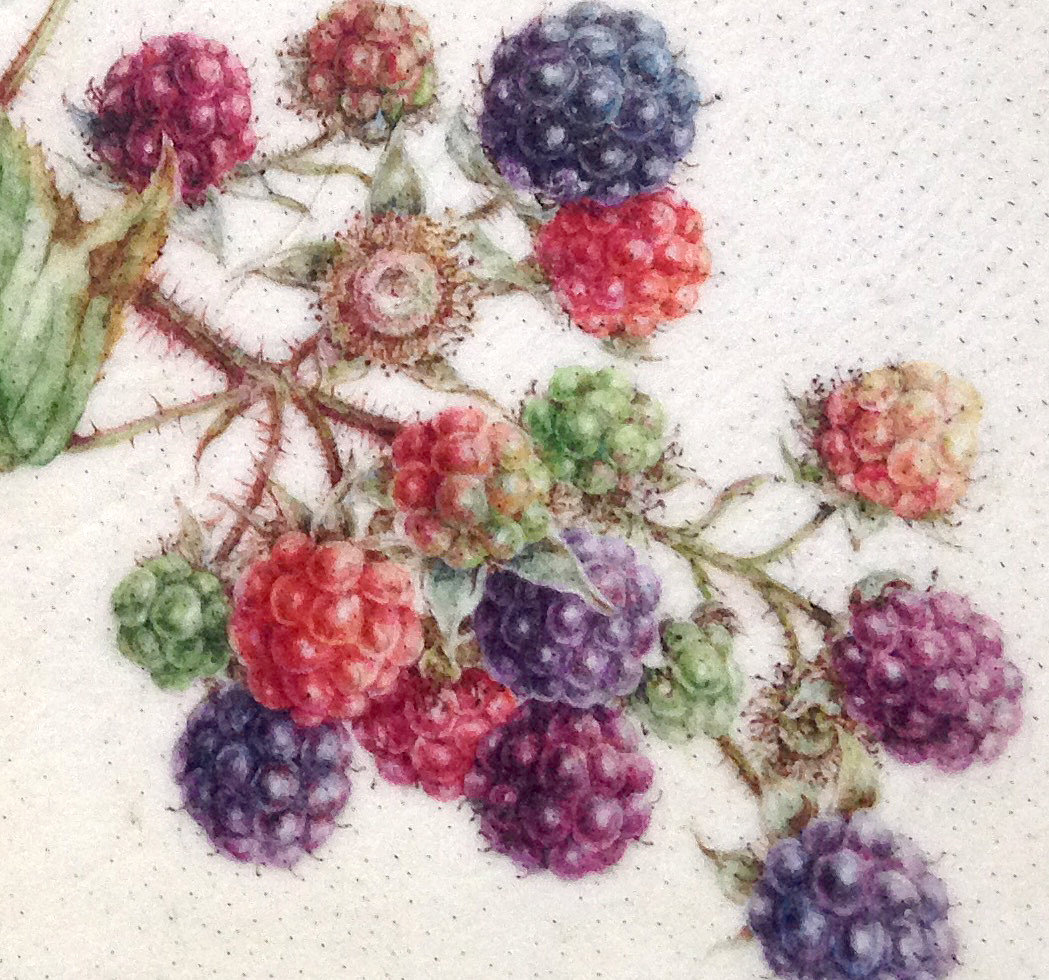 painting of blackberries on vellum